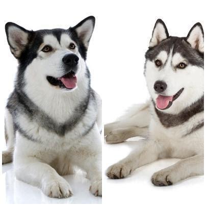 alimentazione alaskan malamute differenze tra siberian husky e alaskan malamute