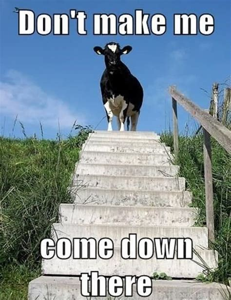Funny Cow Memes - 35 most funny cow meme pictures and photos