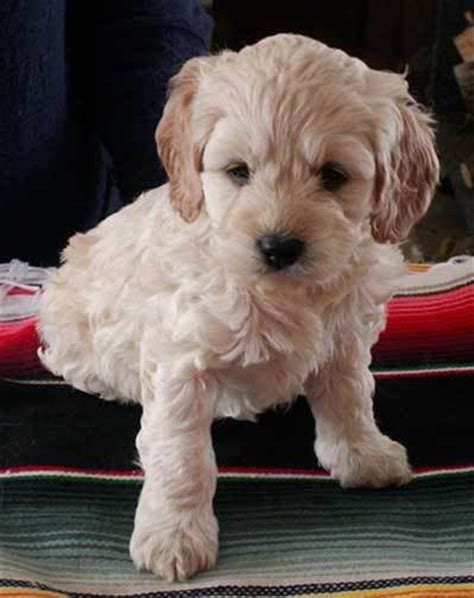 1000 images about cockapoo cute on pinterest english