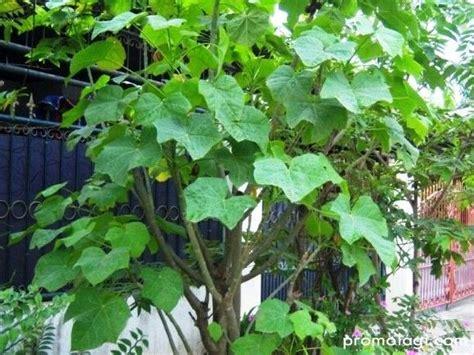 manfaat tanaman jarak pagar sebagai tanaman hias bengkel