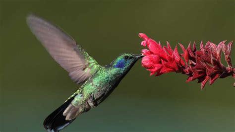 uccelli non volanti colibr 236 trochilidae scheda completa animali volanti