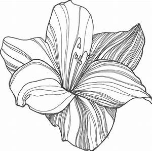 Drawn lily tropical flower - Pencil and in color drawn ...