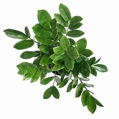 Plant Zz Care Plants Planterina Above Indoor