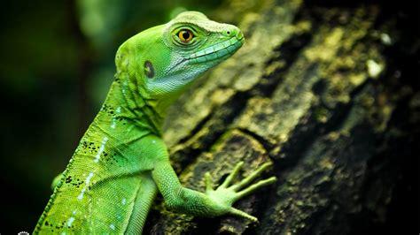 wallpaper lizard close  green eyes reptilies