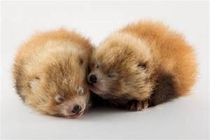 Tierisch süß! - Seltene Rote Pandas geboren - Radio Hamburg