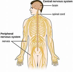 Anatomy Of The Nervous System     In 2020
