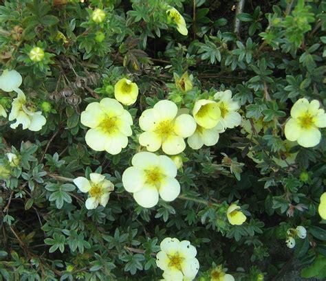 Potentilla fruticosa 'Boley Gold' - Parastā klinšrozīte