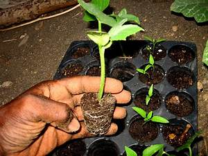 PLANTING CUCUMBERS Poinsett Seed To Seedling Agrosuede