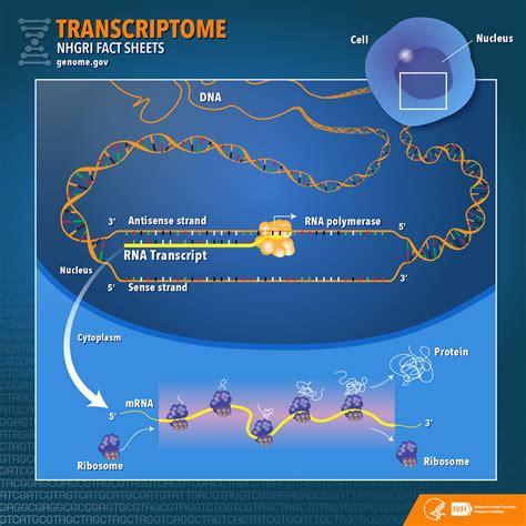 transcriptome fact sheet nhgri
