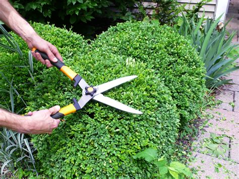 trimming bushes pruning boxwood and yew shrubs rather square