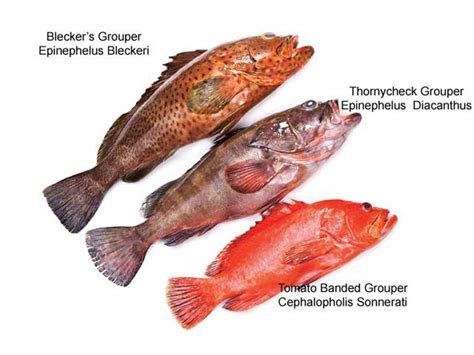 grouper species freshwater there water fresh