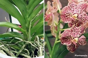 Orchidee Vanda Pflege : orchideen richtig pflegen von a z d ngen umtopfen ~ Lizthompson.info Haus und Dekorationen
