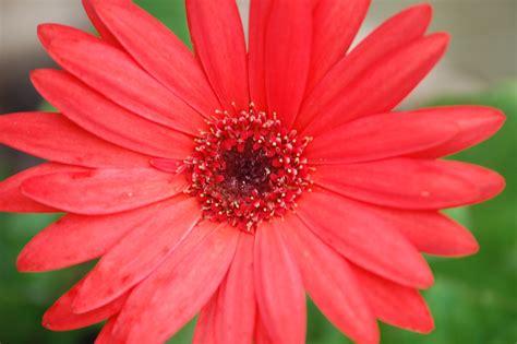 gerber daisies gerber daisy gerbera daisy pinterest