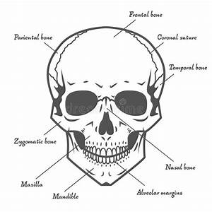 Anatomy Guide Of Human Skeleton With Explanations  Anatomy