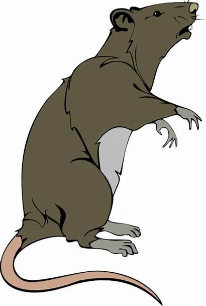 Rat Grey Greedy Clipart Mouse Clip Animated