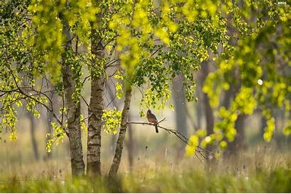 Jay Birch Bird Trees Viewes Branch Tree