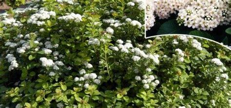 Spireja Bērzlapu /Spiraea betulifolia/ - Lapu koki, krūmi ...