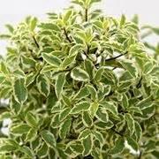 Alberi Da Interno Sempreverdi - piante da vaso sempreverdi piante da terrazzo piante