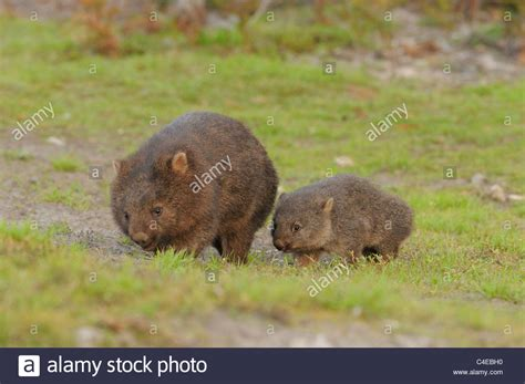 common wombat vombatus ursinus mother  baby