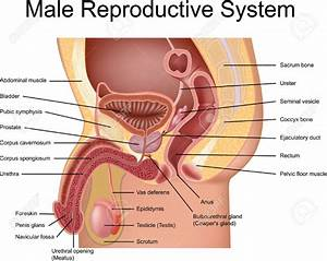 Male Reproductive System Without Labels Male Reproductive ...