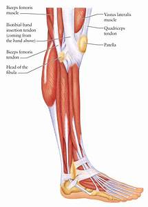 Human Leg Muscles And Tendons