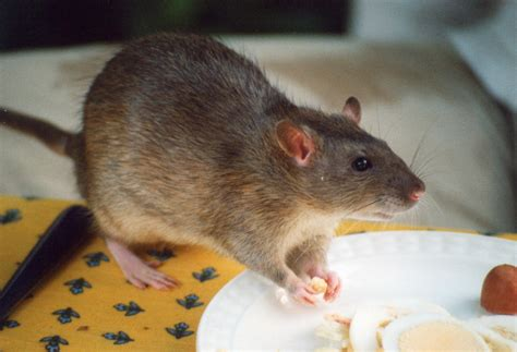 rat cuisine pet rat food a guide on what to feed them coops cages