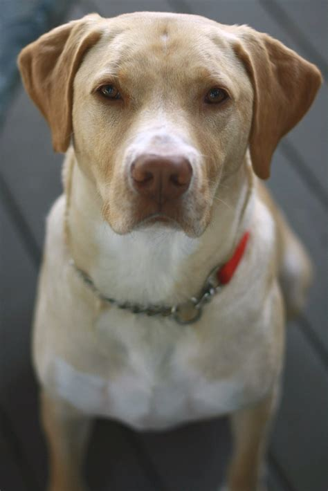 Best Lab Mix Puppy Ideas And Images On Bing Find What Youll Love