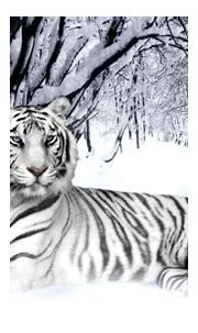White Tiger Cubs Wallpaper In Snow   Wallpapers Gallery