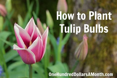 how to plant a tulip when to plant tulip bulb porno thumbnailed pictures