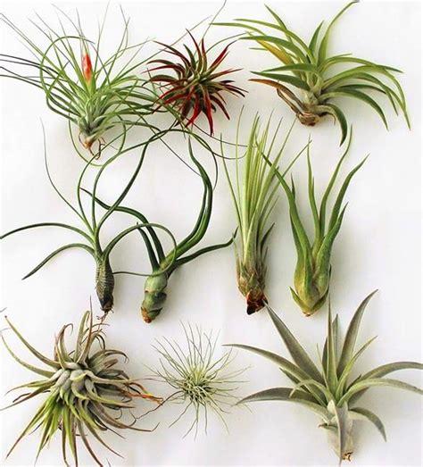 complete guide  air plants tillandsia  house plants
