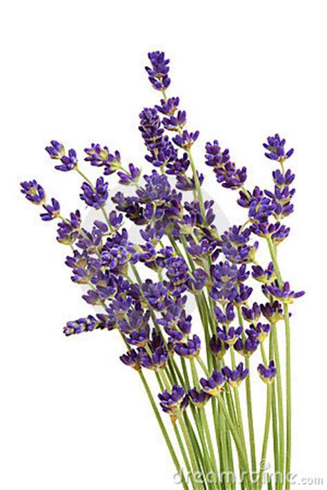 english lavender clipart clipground