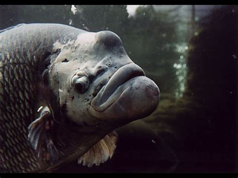 big aquarium fish monster fish youtube