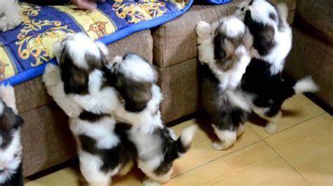shih tzu puppies   st bath youtube