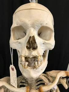 Real Articulated Human Skeleton For Sale