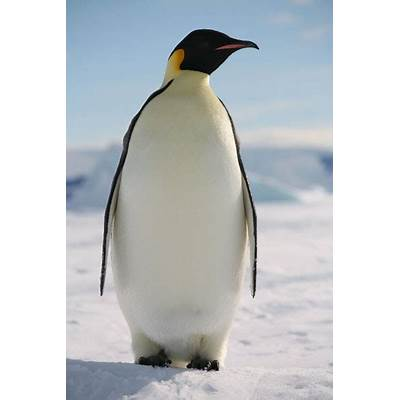 Opinions on emperor penguin