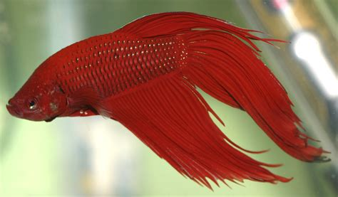 betta fish avoid the 10 deadliest mistakes to keep your fighter fish betta fish fries alive fighter fish