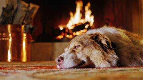 dogs for fireplaces lying in a cozy house near the fireplace stock footage