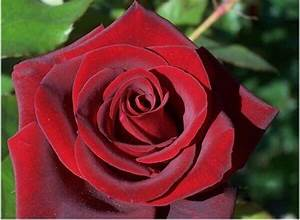 Real Black And Red Roses | www.pixshark.com - Images ...