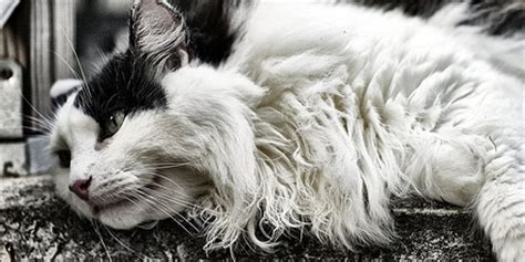 how to get mats out of cat hair how to remove mats from a haired cat petful