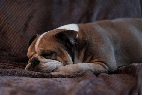 how much do bulldogs shed bulldog tips
