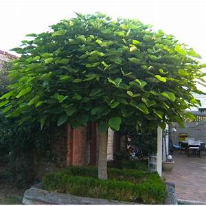Catalpa Bignonioides Nana : our range the widest range of tools lighting ~ Michelbontemps.com Haus und Dekorationen