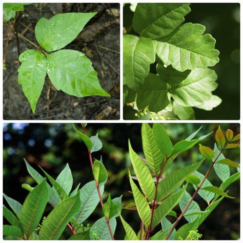 Touch Me Nots Common Poisonous Plants Of Alabama Alcom