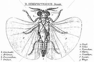 5658 Strepsipterous Insect Diagram