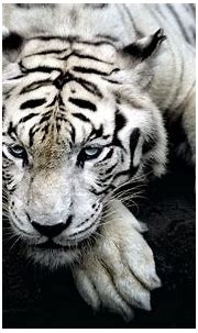 Populer Download Foto Harimau | Goodgambar