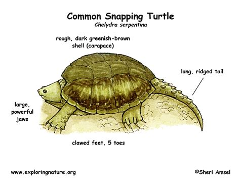 what color is a turtle turtle common snapping