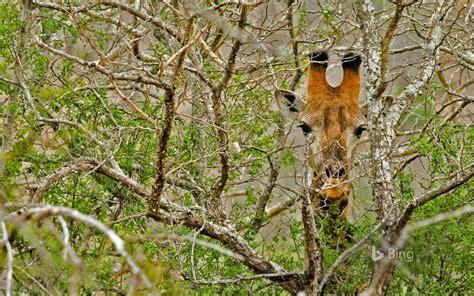 A Giraffe in South Africa (© Lilly Husbands/Offset) - Bing