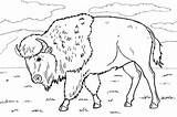 Bison Coloring Dessin Animaux Coloriage Template Imprimer sketch template