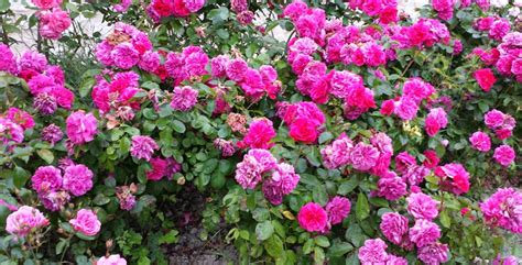 piante da cespuglio fiorite aiuole come creare un giardino piacevole e armonico