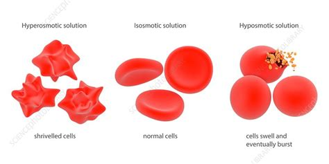 osmosis  red blood cells illustration stock image