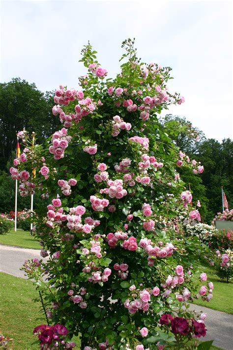 la collection globe planter rosier rosier super